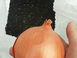 Продается семена лука сорт Берекет, Банко и Манас
