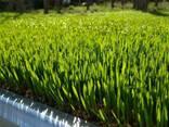 Сок ростков пшеницы! Витграсслитр 1000сом