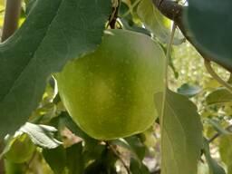 Продаю витаминные польские сорта яблок выращенные в садах Чуйской долины.