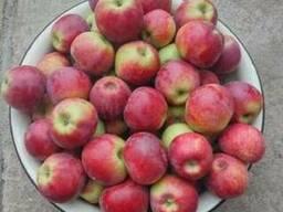 Яблоки рашида - фото 1
